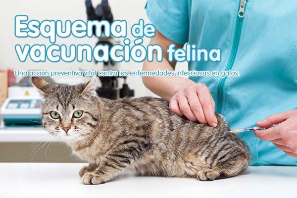 Esquema de vacunación felina