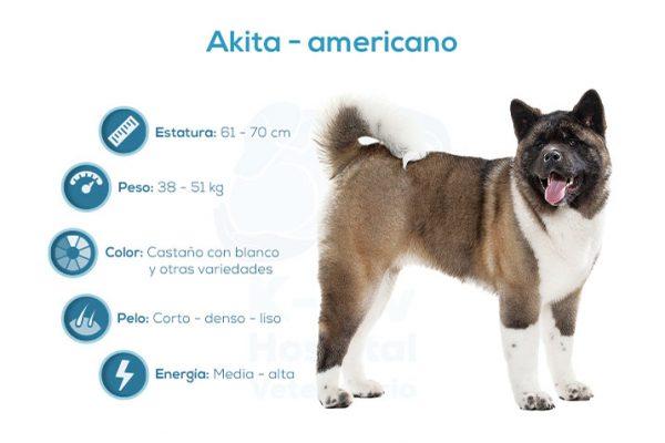 Akita – americano