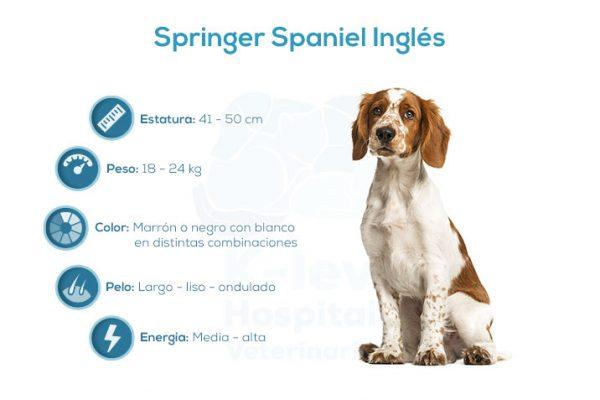 Springer Spaniel Inglés