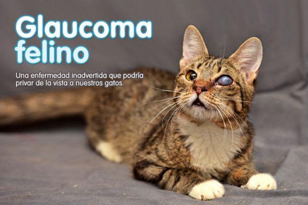 Glaucoma felino