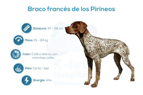 Braco francés de los Pirineos