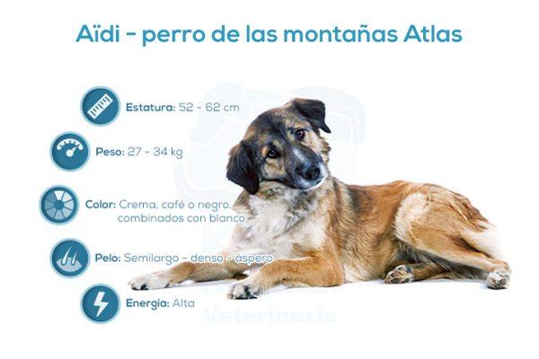 Aïdi – perro del atlas