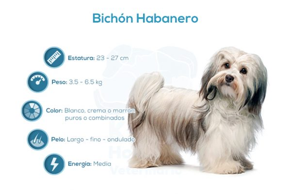 Bichón Habanero