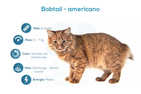 Bobtail – americano