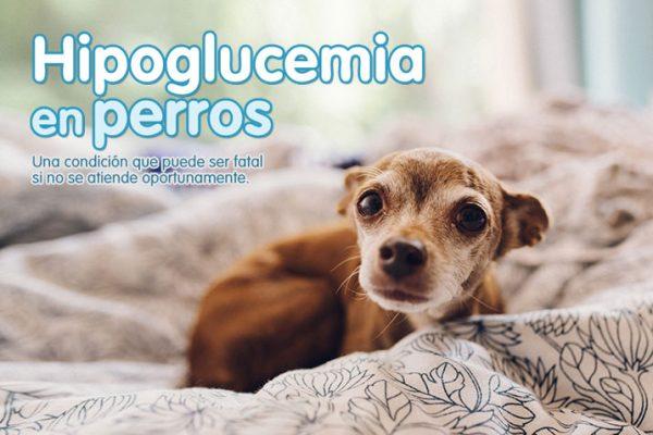 Hipoglucemia en perros