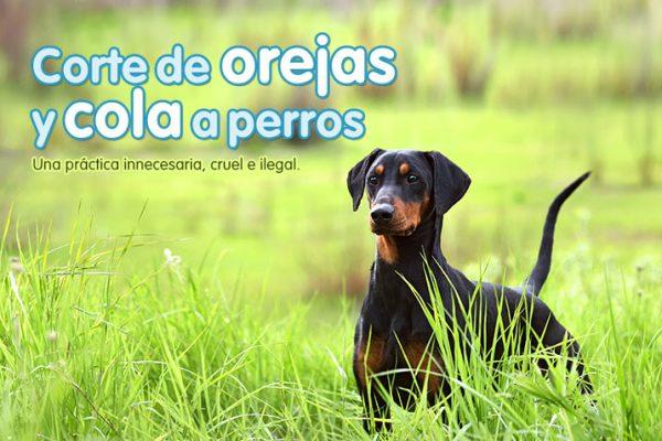 Corte de orejas y cola a perros
